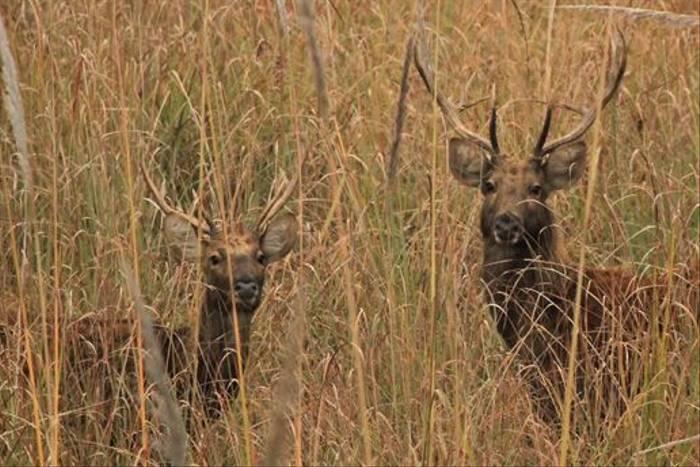 Suklaphanta Swamp Deer (Janice Fiske)