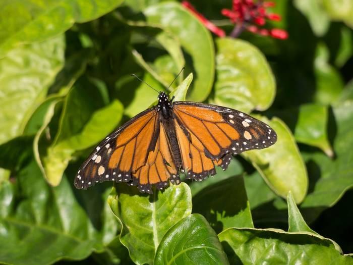 Monarch shutterstock_361494689.jpg