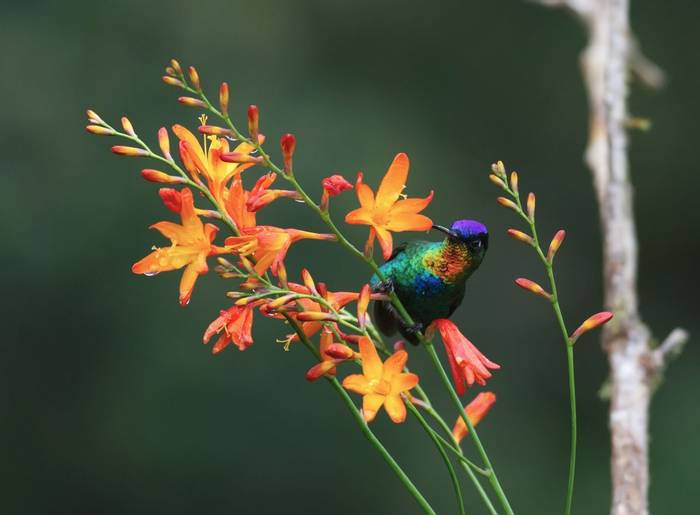 Fiery-throated Hummingbird, Costa Rica shutterstock_670208944.jpg