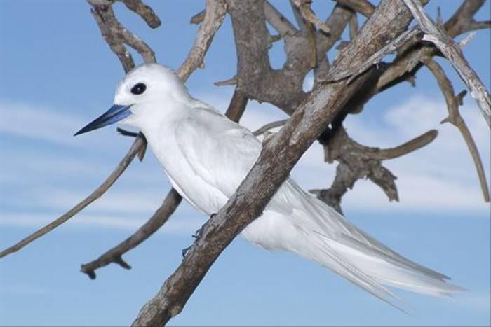 Fairy Tern (Martin Harvey)