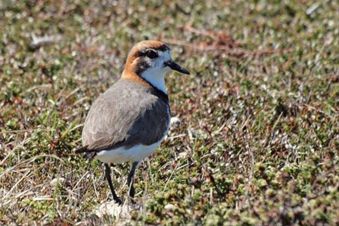 Two-banded Plover (Peter Nichols)