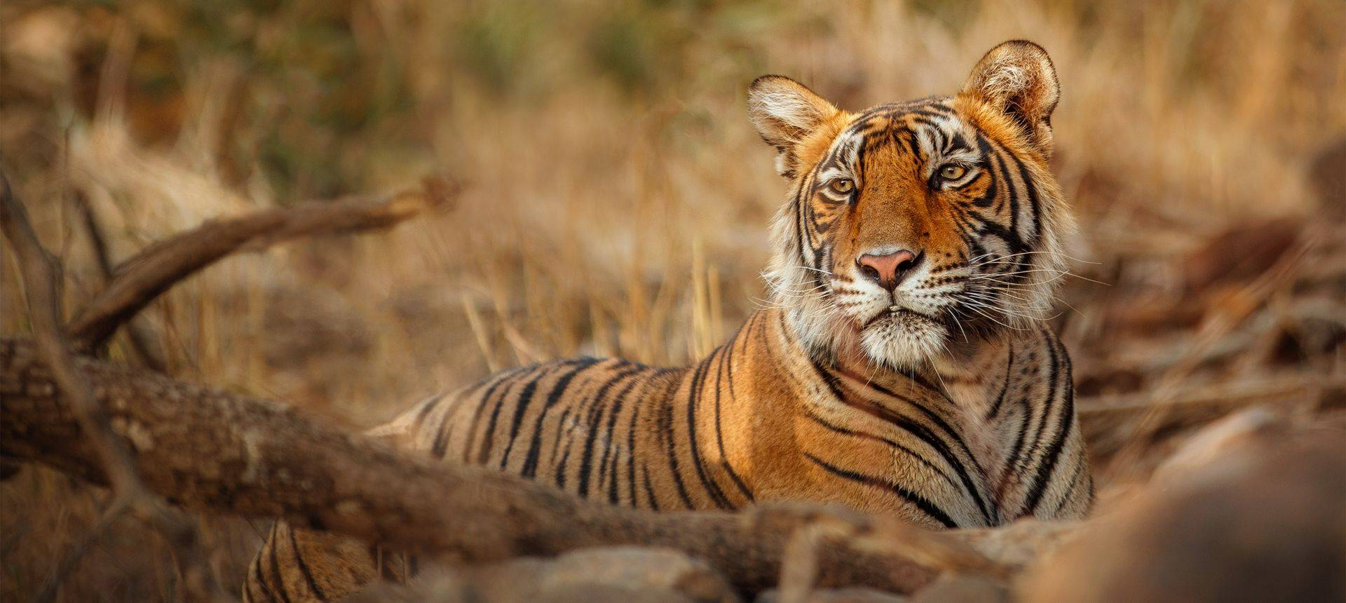 Tiger, India Shutterstock 1095332669
