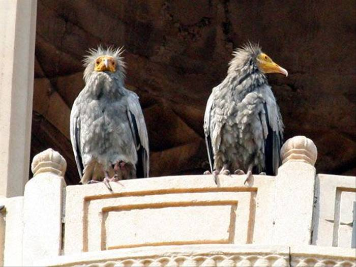 Egyptian Vultures (Michael Haley)