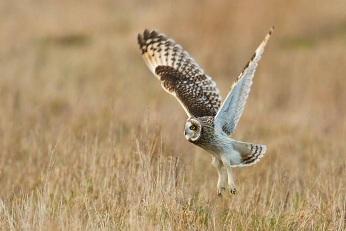 Short-eared owl. shutterstock_107663348.jpg