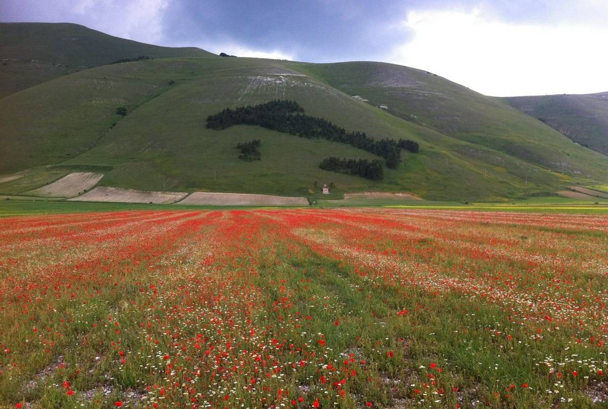 Cornfields annuals in Castelluccio (Philip Thompson)