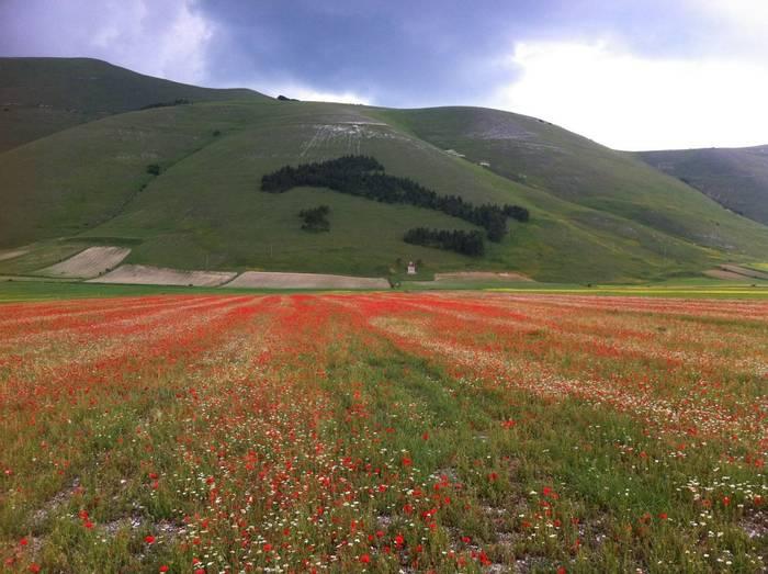 Cornfields annuals in Castelluccio (Philip Thompson)