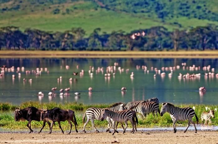 Zebra Ngorongoro Crater, Tanzania Shutterstock 212602528