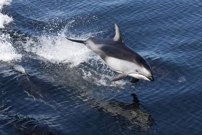 Pacific White-sided Dolphin (Lee Morgan)