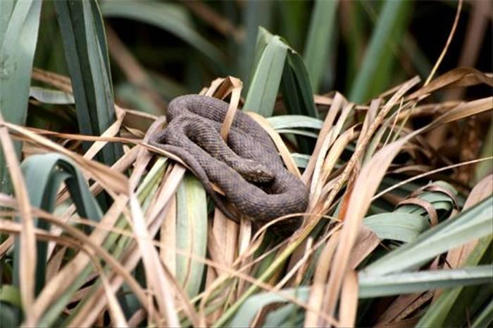 Dice Snake (Robert Godden)