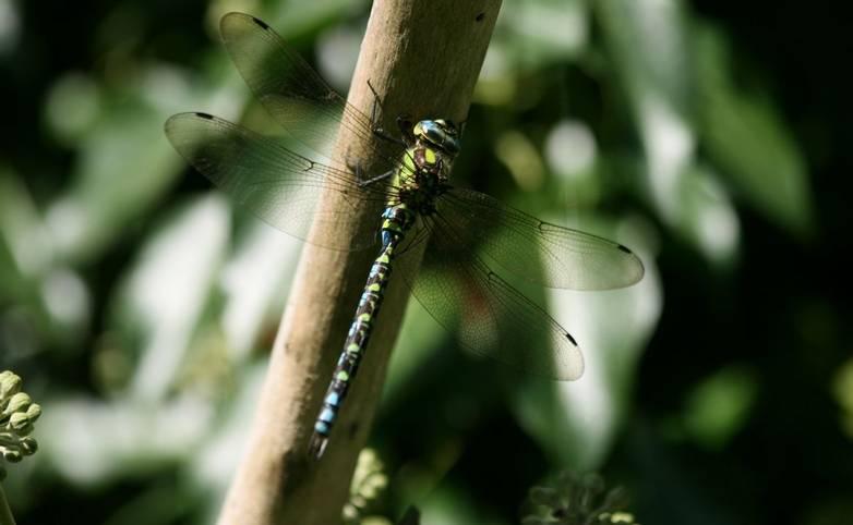 Emperor_Dragonfly.JPG