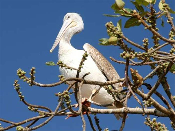 Pink-backed Pelican (Julia Casson)