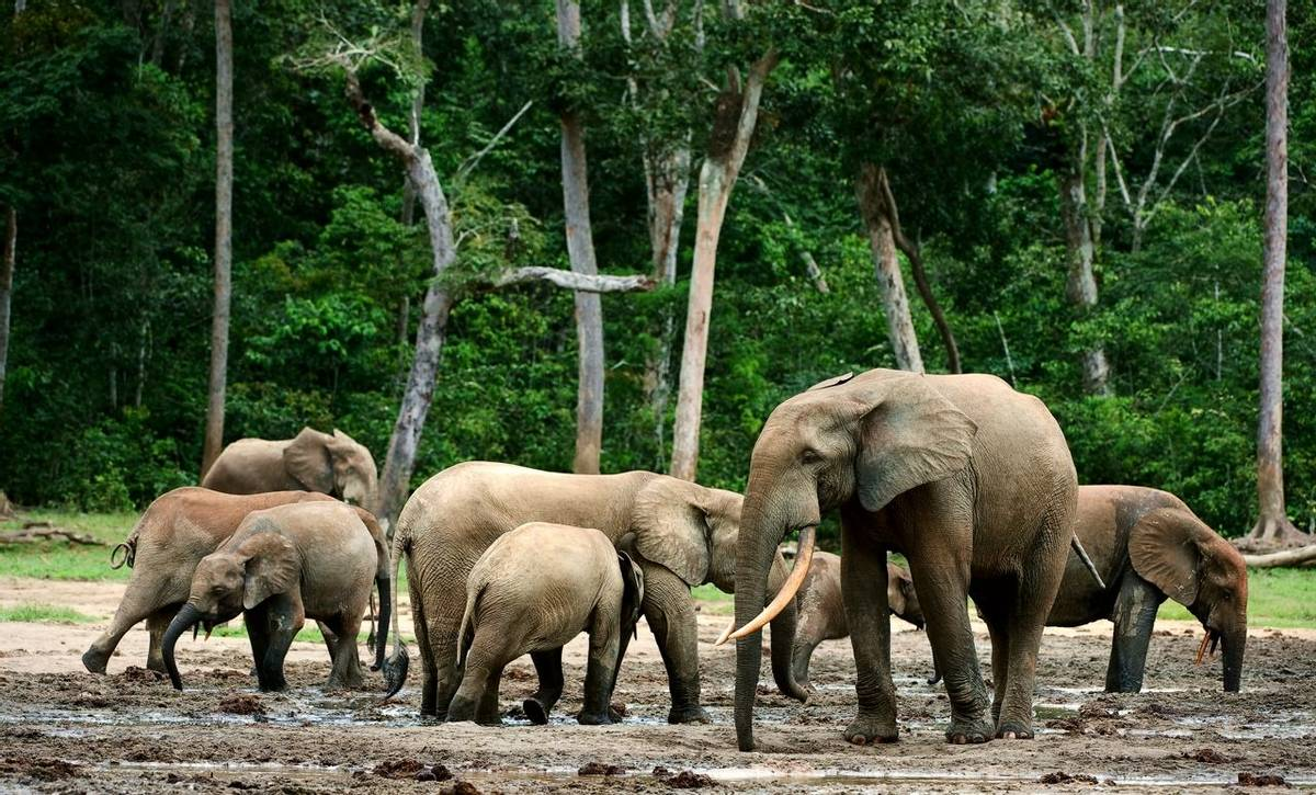 Forest Elephants, Republic of the Congo shutterstock_63466198.jpg