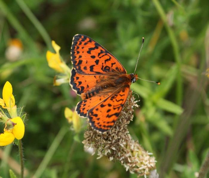 Spotted Fritillary (Andy Harding)