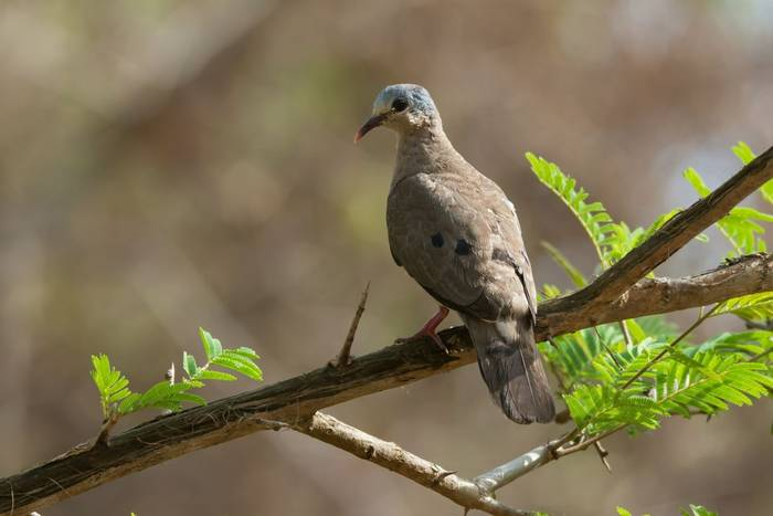 Blue-spotted Wood Dove, The Gambia shutterstock_196932851.jpg