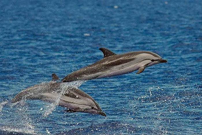 Striped Dolphin (Luis Diaz)