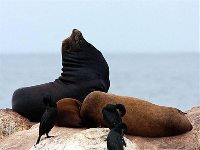California Sea Lions (Peter Dunn)