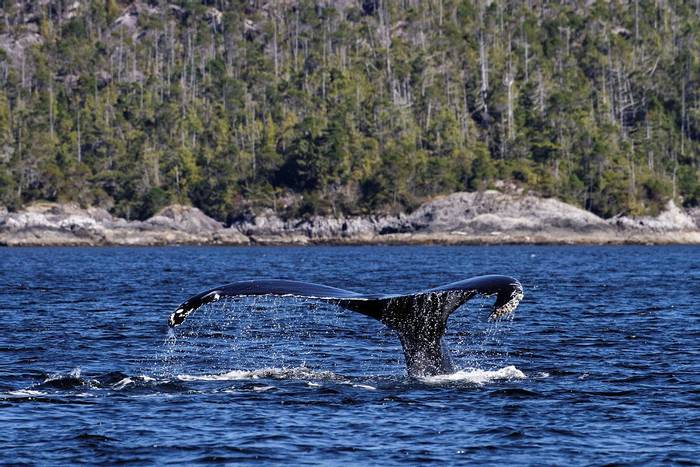 Humpback Whale (Martin Potter)