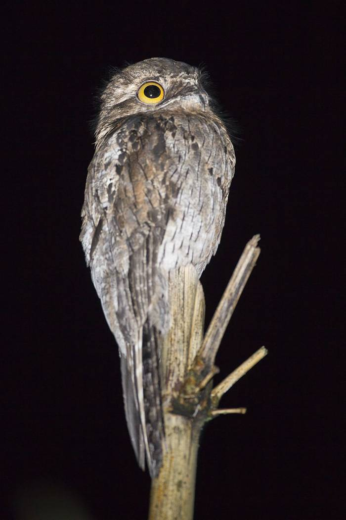 Common Potoo (Kevin Elsby)