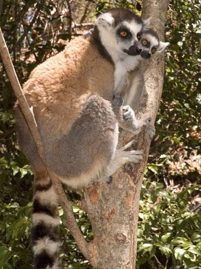 Ring-tailed Lemurs (Paul Stanbury)