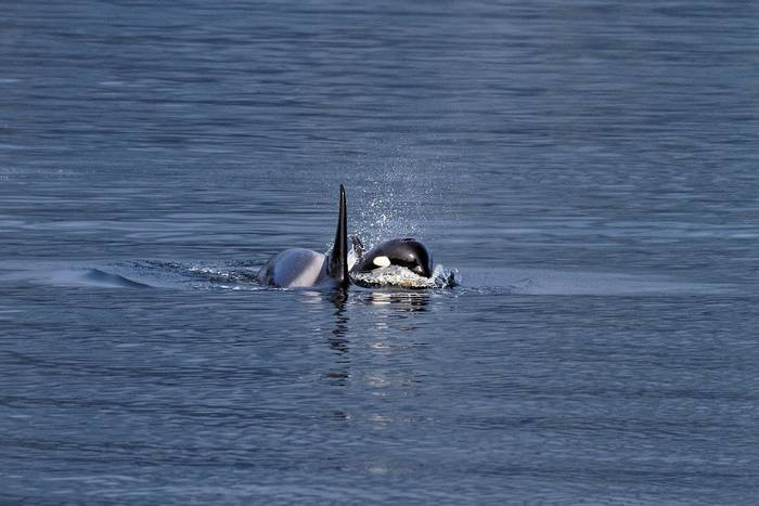 Young Orca Porpoising (Martin Potter)