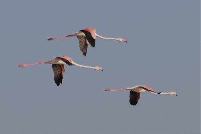 Greater Flamingo (John Crispin)