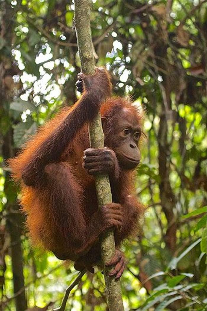 Orangutan in Tree - Sepilok (Dani Free)