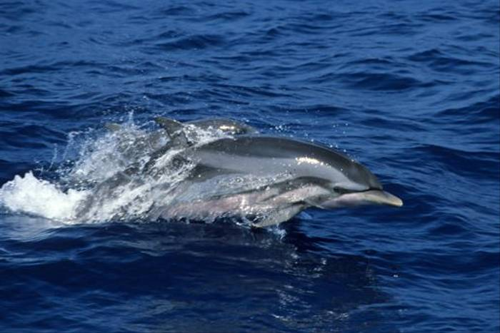 Striped Dolphin off Mirissa