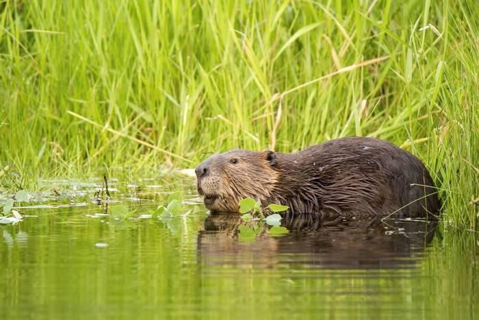 North American Beaver, Canada shutterstock_408167497.jpg