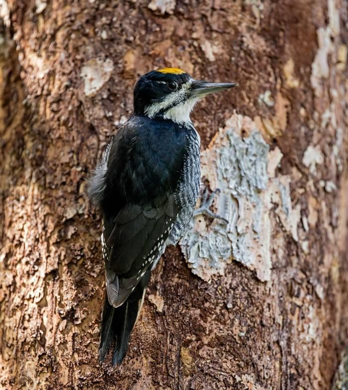 Black-backed Woodpecker, Canada shutterstock_504322387.jpg