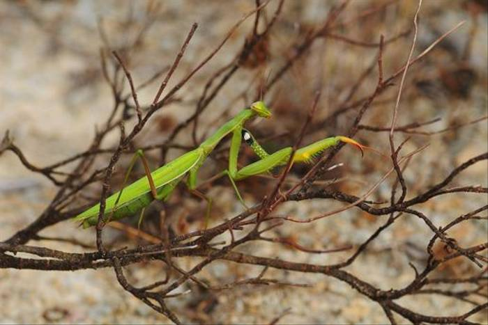 Praying Mantis (David Morris)