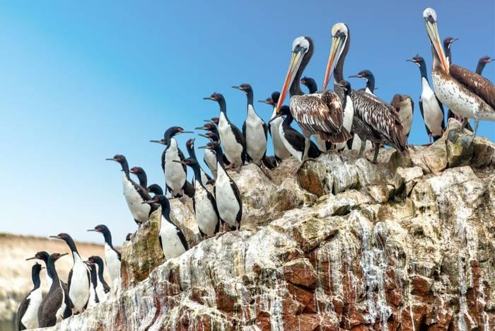 Brown Pelicans and Guanay Cormorants, Ballestas Islands, Peru shutterstock_381504166.jpg