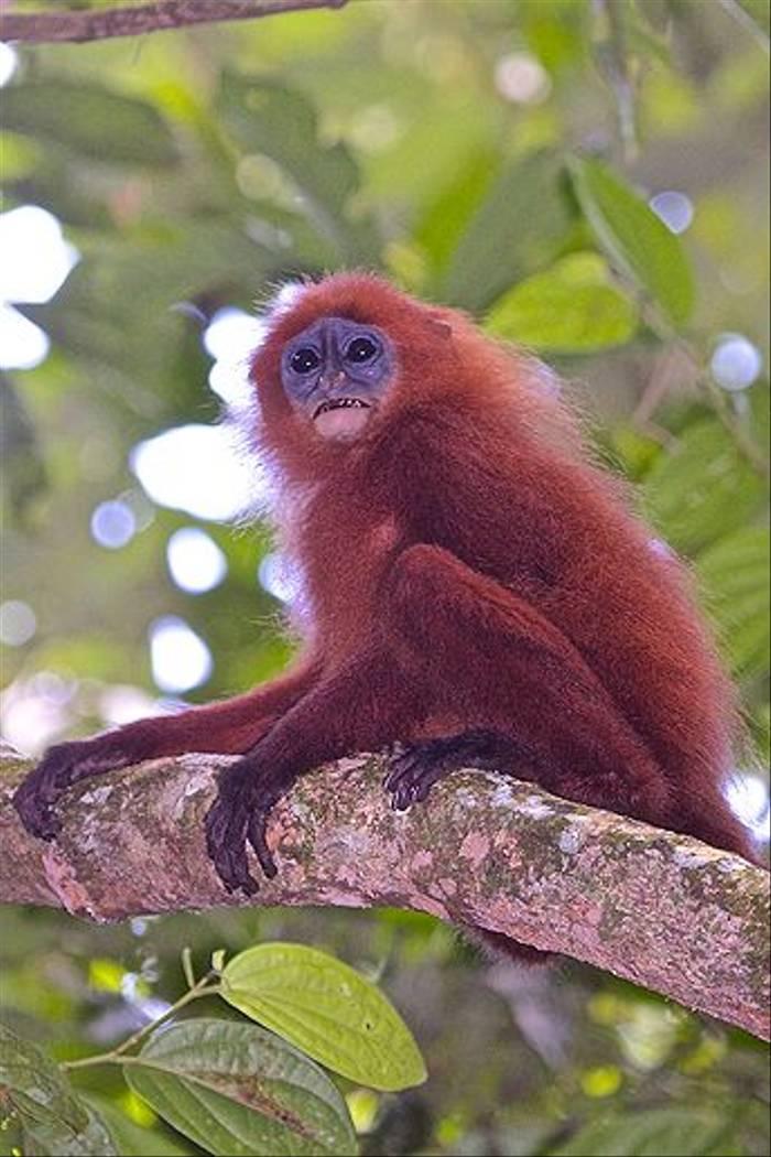 Maroon Leaf Monkey - Gomantong Caves (Dani Free)