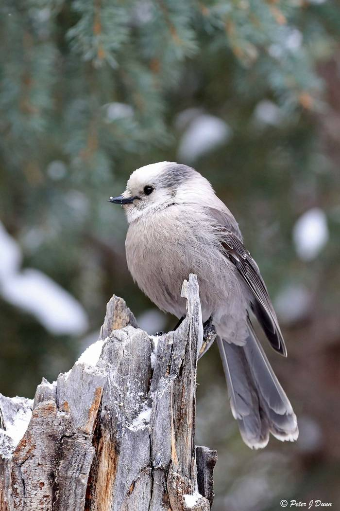 Grey jay_(Peter Dunn)