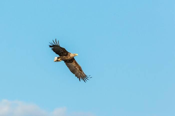 White-tailed Eagle shutterstock_1484242994.jpg