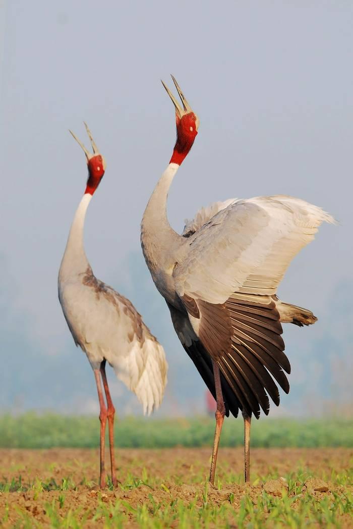 Sarus Crane2. India. shutterstock.jpg