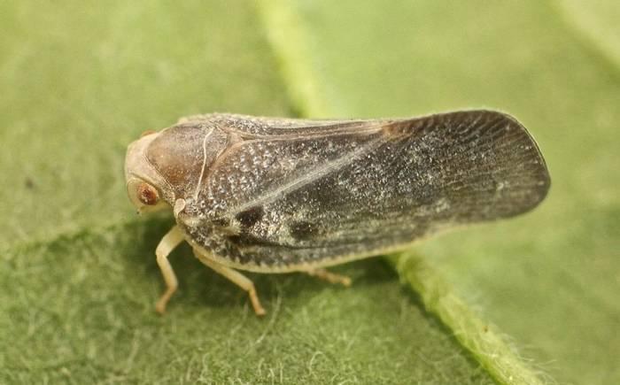 Metcalfa pruinosa - Citrus Flatid Planthopper (Alan Outen)