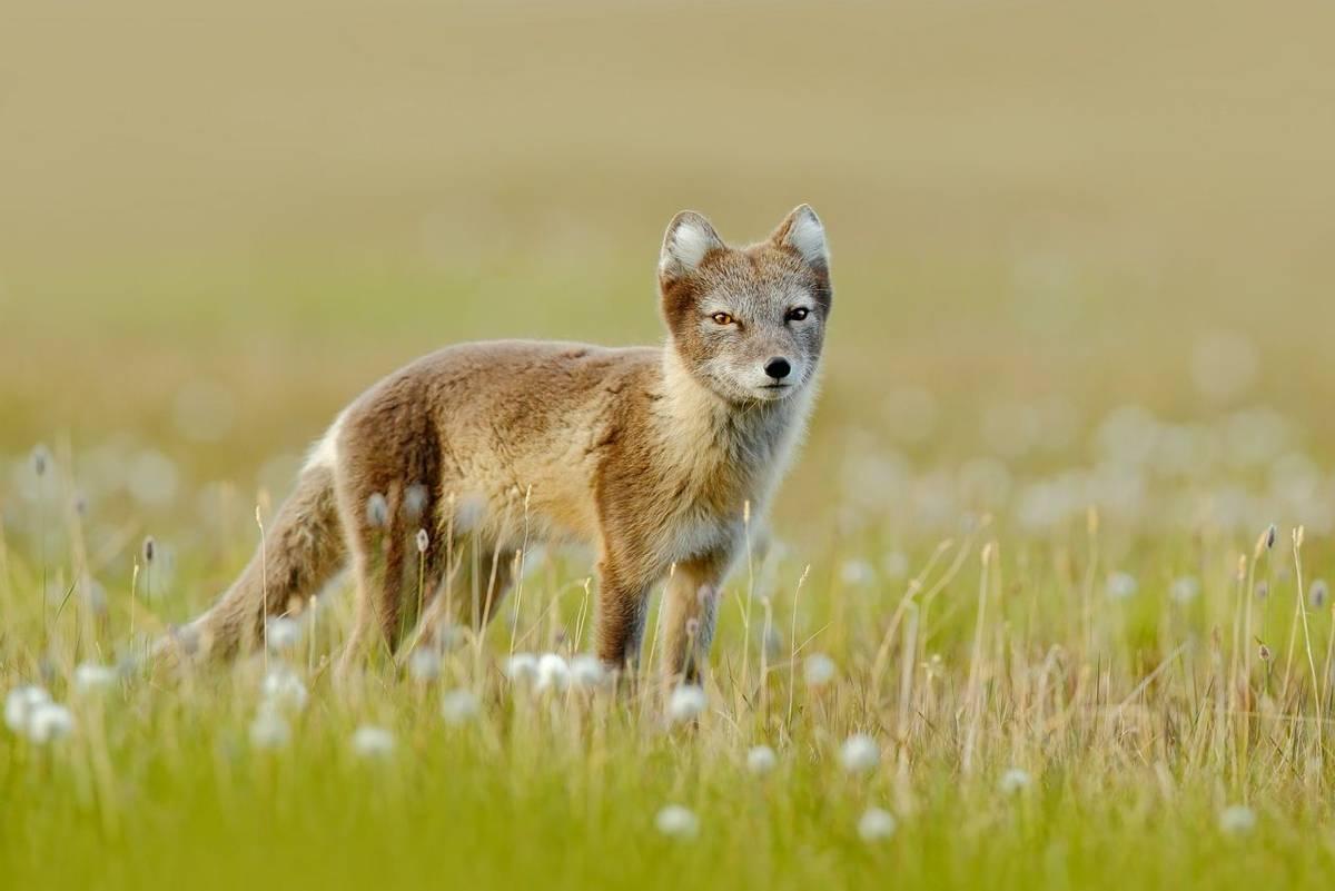 Arctic Fox shutterstock_499285660.jpg
