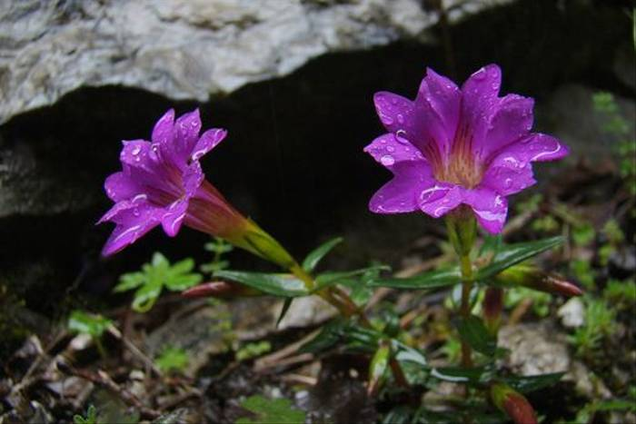 Gentiana rubicunda (Gordon Rae)