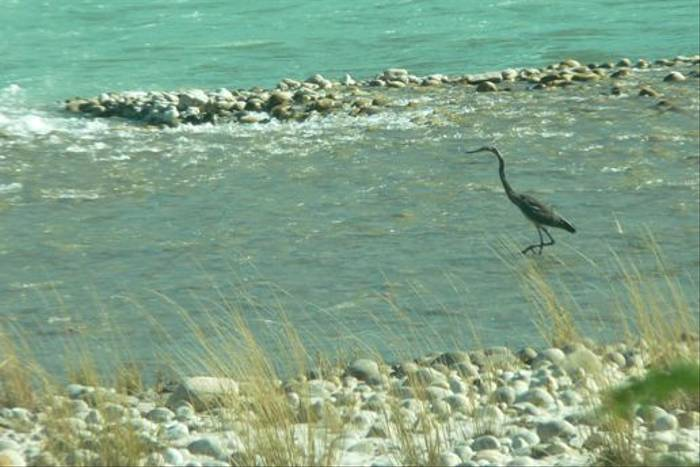 The endangered White-bellied Heron