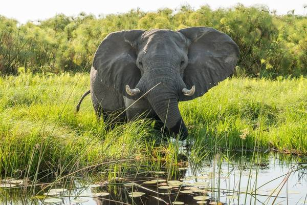 Mammals Elephant, Okavango Shutterstock 512355163