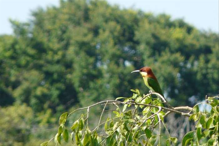 Chestnut-headed Bee-Eater (Rajan Jolly)