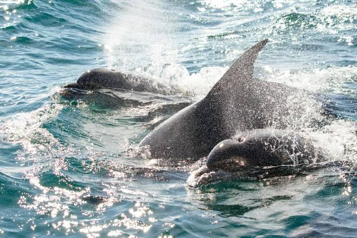 Bottlenose Dolphins (Carole Nicholson).jpg