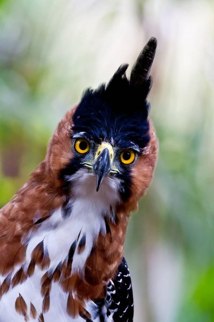 Ornate Hawk-eagle, Amazon, Peru shutterstock_83410660.jpg