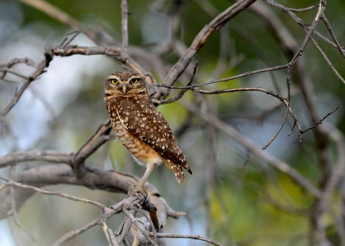 Burrowing Owl (Stephen Woodham)