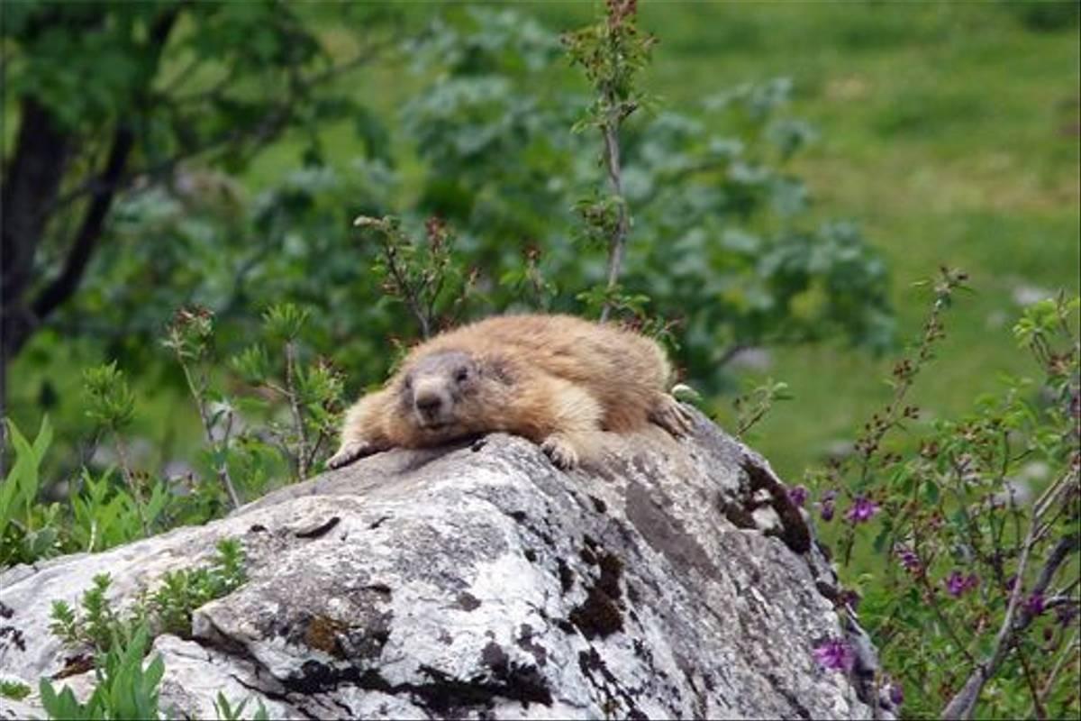 Marmot (Lis Allen)