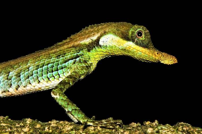 Leaf-nosed Lizard (Ceratophora tennentii)