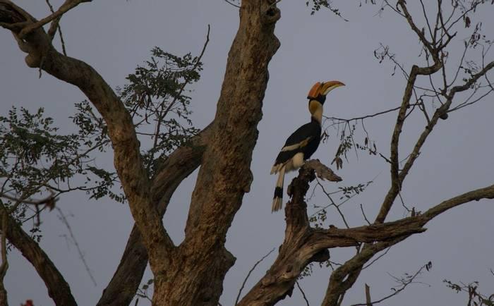 Giant Hornbill (Liz Seeber)