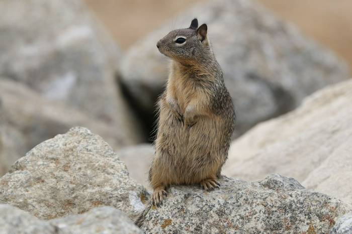 California Ground Squirrel (Brian West)