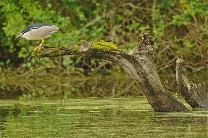 Night Heron by David Morris