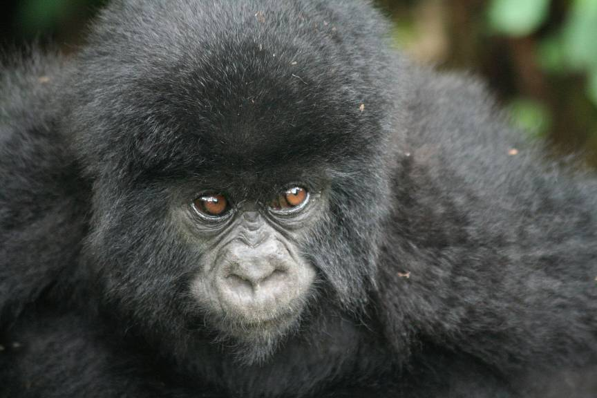 A baby mountain gorilla sited whilst gorilla trekking in Uganda